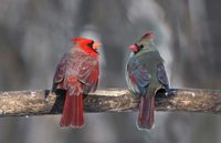 The Female Cardinal Syndrome | Ministry Wives