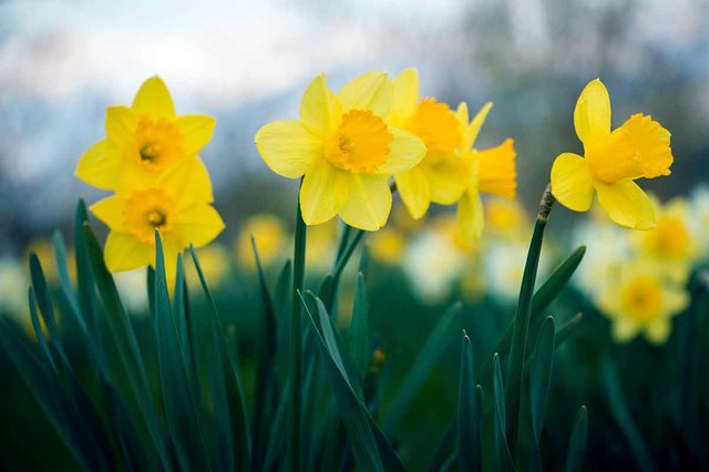 Watching Daffodils